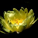 Shaded White Waterlily by Barnbk02
