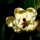Sun-Dappled Magnolia by Barnbk02