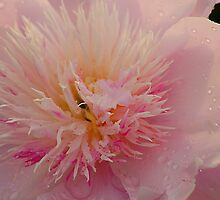 Pinky Peony by sundawg7