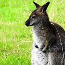 Apprehensive Wallaby by Barnbk02