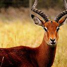 Frontal Impala by Barnbk02