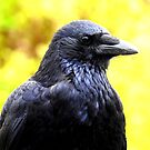 Carrion Crow by Barnbk02