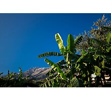Banana Tree Reaching for the Sun Photographic Print
