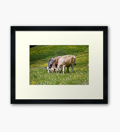 cows in the meadow Framed Print