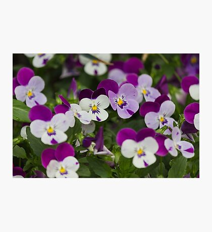 violet in the garden Photographic Print