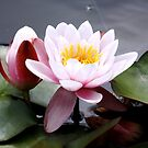 Pink Waterlily by AnnDixon