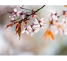 Cherry Blosom Photographic Print