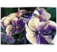 Hortensia flowers in vintage grunge watercoloring style Poster