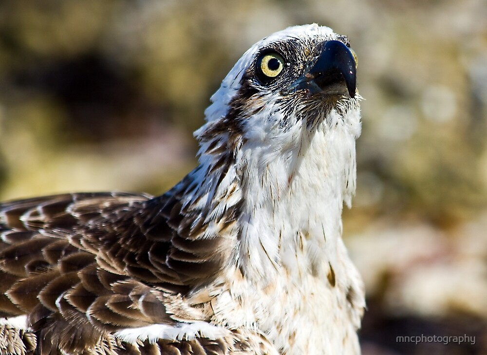 Osprey head and shoulder by mncphotography