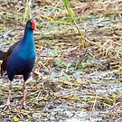 Purple Swamphen by mncphotography