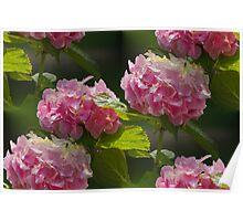 hydrangea in the garden Poster