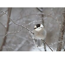 Gray Jay in Algonquin Park Photographic Print