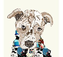 a pit bull day  Photographic Print