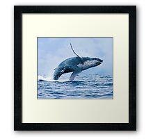 Breaching Humpback Whale Framed Print