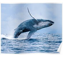 Breaching Humpback Whale Poster