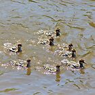 Common Merganser Ducklings by missmoneypenny