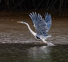 Cocoi Heron by Paul Wolf