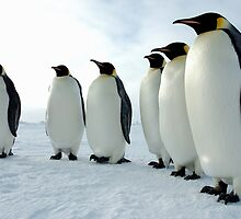 Lined up Emperor Penguins by BravuraMedia