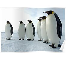 Lined up Emperor Penguins Poster