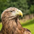 Sea Eagle Portrait by M.S. Photography/Art