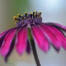 African Daisy by gmws
