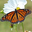 Monarch Butterfly on Cosmos by FrankieCat
