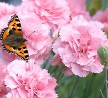 Pinks and the papillon by missmoneypenny