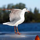 Seagull beauty 7070 by kevin chippindall