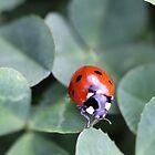 Ladybug by Sheryl Hopkins