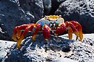 Sally Lightfoot Crab [Grapsus grapsus] by Yukondick