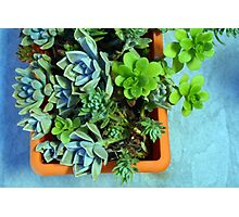 Beautiful green small succulents in a flower pot Photographic Print