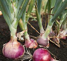 Red Onions by BravuraMedia