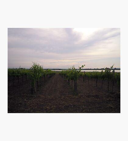 Vineyard #3 Photographic Print