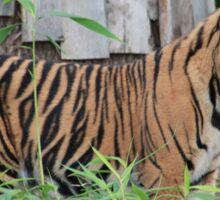 Tiger Standing Still Sticker