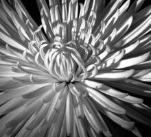 Spring Chrysanthemum Sticker