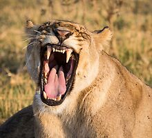 Lioness Bares Her Teeth by Graham Prentice