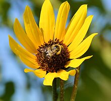 Bumblebee on Yellow Flower by Ben Waggoner
