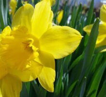 Daffodils in the Summer Sticker