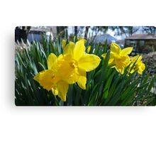 Daffodils in the Summer Canvas Print