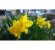 Daffodils in the Summer Photographic Print