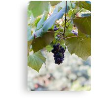 grape and vineyard in spring Canvas Print