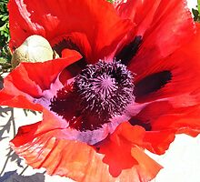 Poppy by Katherine Dallimore
