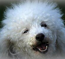 cute dog poodle by spetenfia