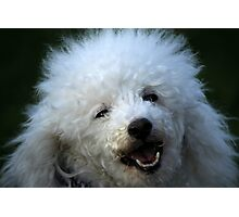 cute dog poodle Photographic Print