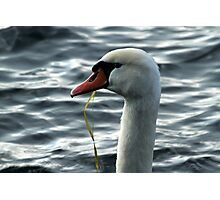 swan on the lake Photographic Print