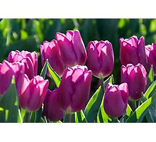 Luscious Purple Tulips Photographic Print
