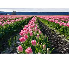 Rows of Pink Tulips Photographic Print