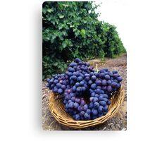 Grape Vineyard  Canvas Print