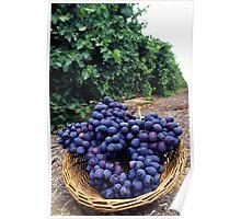 Grape Vineyard  Poster