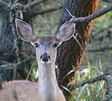 Coastal Deer by Kate Farkas